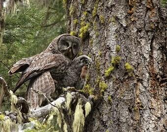 Great Grey Owl Photograph, baby owl art print, Owl Photography, wildlife, wildlife art, raptor, father, birds of prey