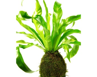 Kokedama Fern - indoor house plant with a live moss ball and blue round dish - 35cm high