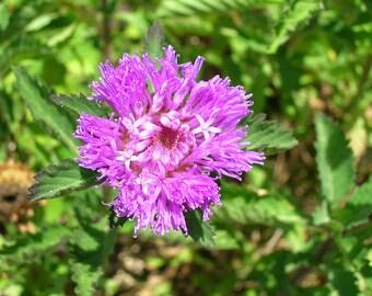 100 SMALL PALAFOXIA Palafoxia Collosa Flower Seeds