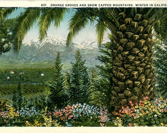 California Orange Groves & Snowcapped Mountains in Winter Vintage Postcard (unused)