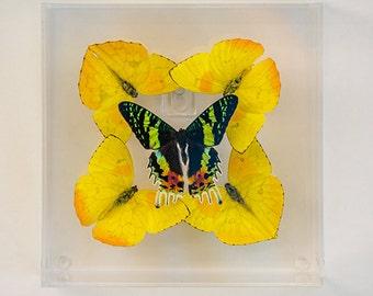 4 Yellow Philea Butterflies and 1 Sunset Exotic Moth in my Kaleidoscope Design