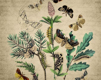 Vintage Butterfly print, butterfly life cycle, room decor, butterfly wall decor, butterfly instant download