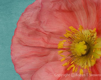 Salmon Pink Poppy with a Teal Background - 4x6 Fine Art Photograph