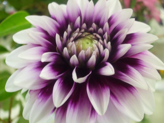 Purple and White Dahlia--greeting card, photography, 5x7, signed, with envelope