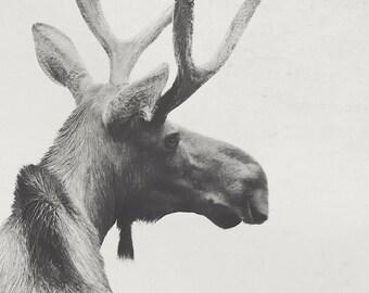 8x12 Moose, wildlife art, nursery art, home decor, fine art photography
