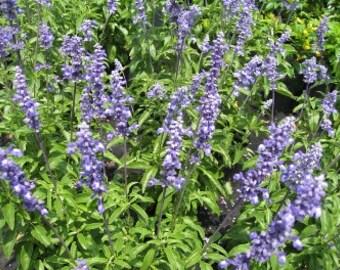 20 Mealycup Blue Sage seeds