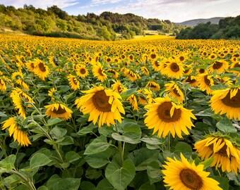 Sunflower Field in Bavaria Photo