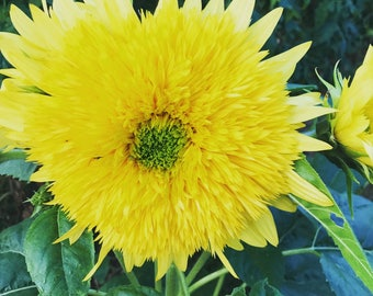 Lemonade Sunflower Seeds, Double Sunflowers, Non GMO Sunflowers, Great for Pollinator Gardens and Cut Flower Gardens