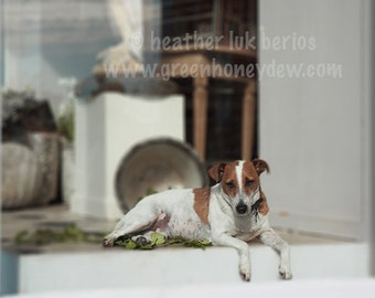 Dog Photography - Window Display - Wall Decor - Russell Terrier, Puppy, White, Cottage Chic