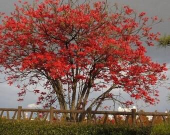 Oriental Wax Tree Seeds (Toxicodendron succedaneum) 20+Seeds