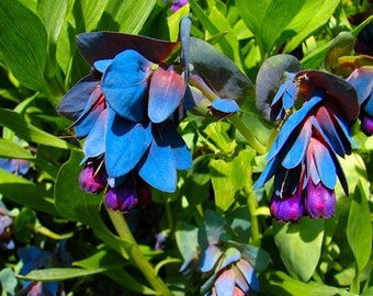 Blue Shrimp Pride Of Gibraltar Flower Seeds / Cerinthe / Perennial  25+