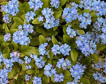 60+  FORGET-ME-NOT Myosotis Sylvatica Miro/ Deer Resistant / Blue Easy Perennial Flower Seeds