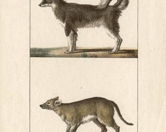 Dogs - Antique French natural history lithograph, 1832