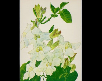 """MATTED Vintage Hawaiian Flower Print - """"White Thunbergia"""" c. 1938 - Vintage Botanical Book Plate - Cottage Decor - Matted Floral Print"""