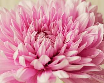 pink home decor, macro photo,  still life art, nursery decor, close up photograph, chrysanthemums, pink mums, pink flower print