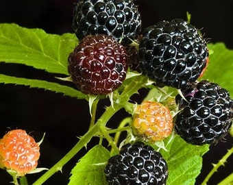 how to grow black raspberries from seed