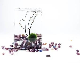 Marimo moss ball terrarium cladophora cube terrarium