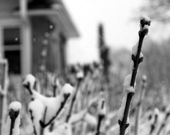 Snow Falling / Winter Scene / Snow on Bush Branches / Black and White Macro Home Wall Decor by Rose Clearfield on Etsy
