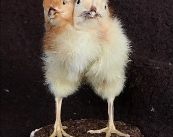 Two Headed Taxidermy Domestic Chick