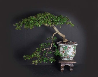 Black Olive Bonsai tree, Fruiting Collection by LiveBonsaiTree