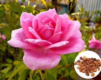 20 Rare Pink Rose Fresh Seeds, Exotic Pink Rose Flower Home Garden Plant, Growing Rose from Seeds