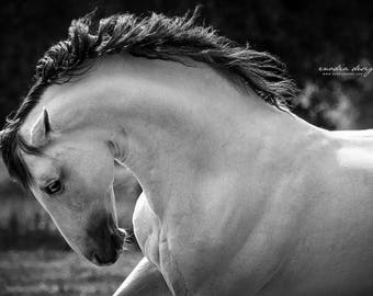Andalusian horse Stallion PRE Grey at liberty, professional photographic print in black and white