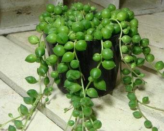 Round Pearl Chlorophytum Seeds - Formaldehyde - Senecio rowleyanus - String Of Pearls Plant 100PCS