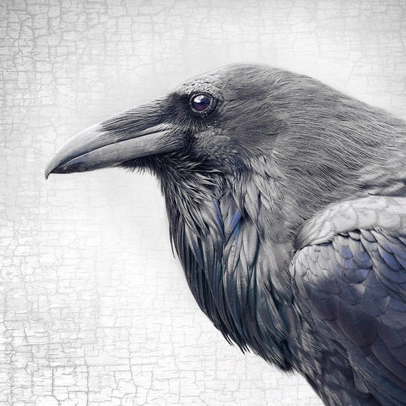 Magnificent And Dignified Raven Profile Signed Fine Art