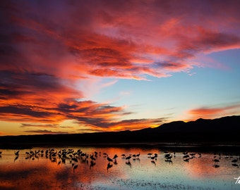 Sandhill Crane Sunset, Bosque del Apache, Bird Photo, Office Print, New Mexico, Nature Photography, SynVisPhotos,  Steve Traudt