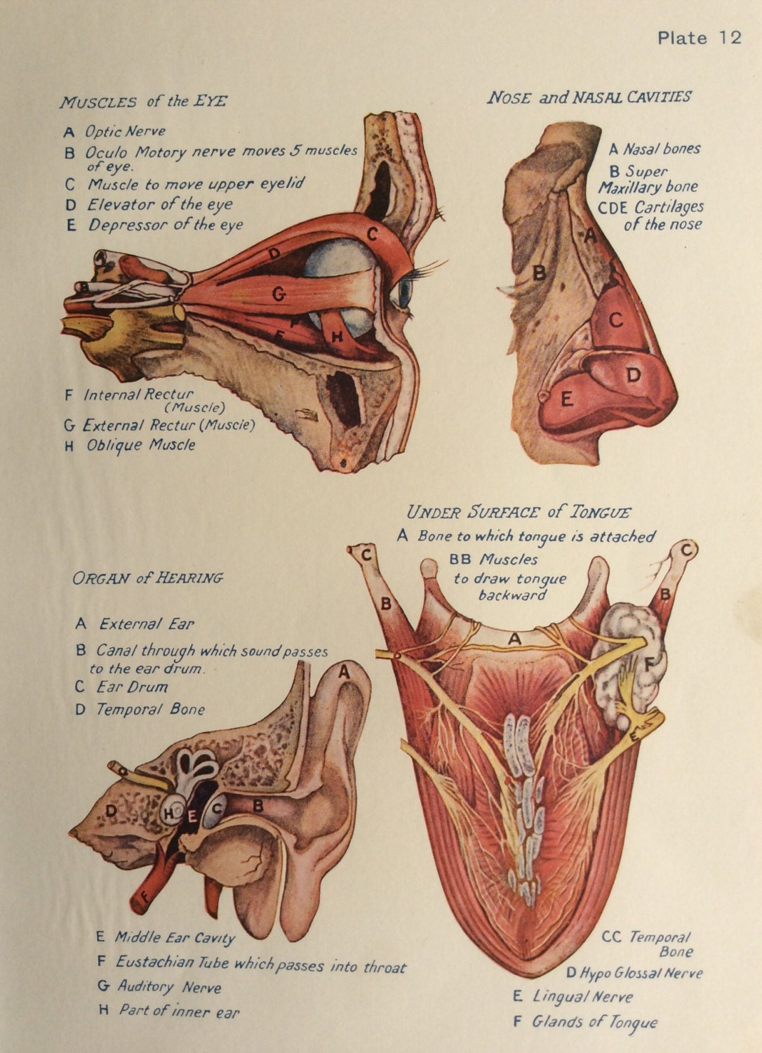 Unique Nasal Anatomy Diagram Image - Anatomy and Physiology Tissue ...