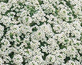 Alyssum- White Sweet- 500 Seeds