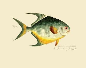 """Vintage Fish """"Der Rautenformige Klippfish"""" Druck 8 x 10 P190"""