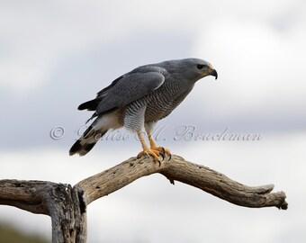 Wild Raptor Photos - Gray Hawk Photo - Hawk Photos - Hawk Pictures - Desert Wildlife Photography - Desert Hawk Photo