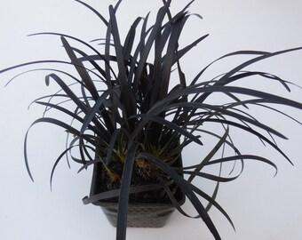 1 Black Mondo Grass 3.5 inch potted plant, Ophiopogon planiscapus Nigrescens