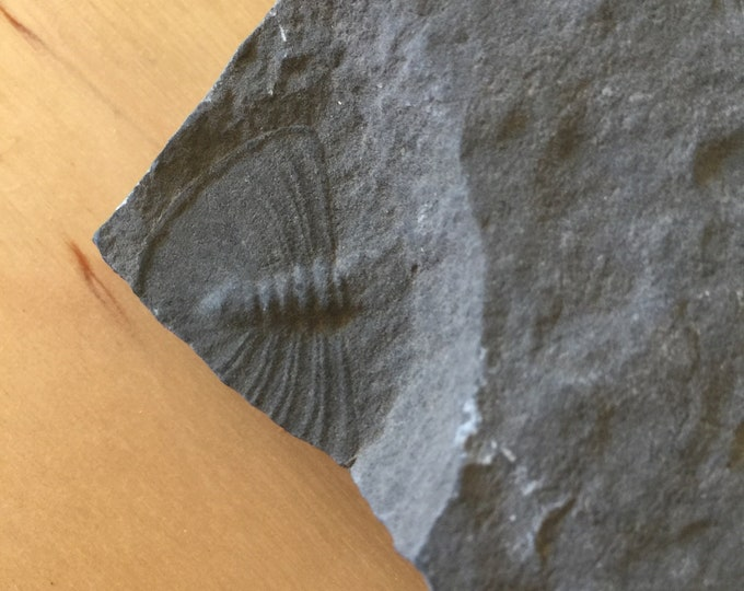 USA Cambrian Trilobite fossil lot in Matrix Medium  No. 004
