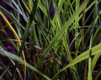 Spike Plant (Draceana indivisa): miniature garden, fairy garden, living plant, dwarf plant