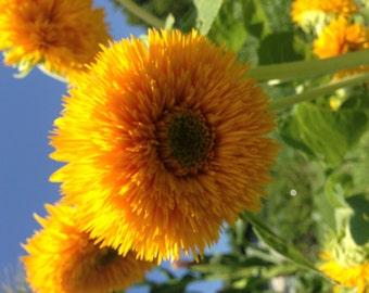 10 Dwarf Teddy Bear Sunflower Seeds-1136