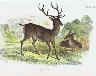 Beautiful antique print of a Deer. Red Deer  Cervus elaphus 1896