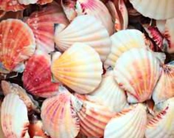 Pecten Shells, craft shells, bulk shells, colorful shells, beach decor, beach wedding, drilled shells, small shells, terrarium supplies