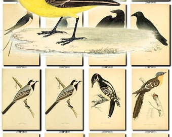 BIRDS-111 Collection of 125 vintage pictures Yellow Wagtail Swift Swallow Martin Hooper Pipit Jay digital download printable 300 dpi animals