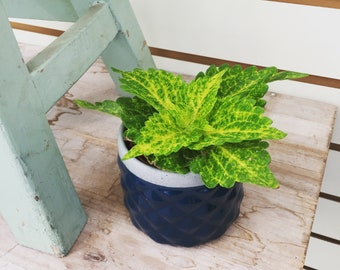 """Coleus Plant 2"""""""