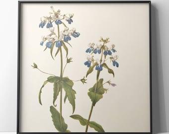 Botanical print/ blue-eyed mary/ blue flowers