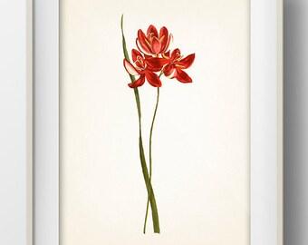 Red Flowers #1 - FL-17 -  Fine art print of a vintage natural history antique botanical illustration