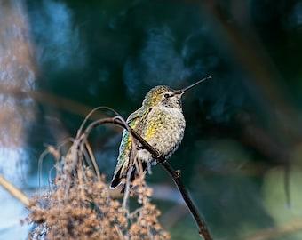 Hummingbird Print, Hummingbird Sitting, Hummingbird Photo, Annas Hummingbird, Hummer, Humming Bird, Hummingbird Art, Hummingbird Decor