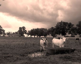 Cows In A Thunderstorm.Farm Animals.Livestock.Cattle.Photography.Barnhouse Decor.Farm house.Wall Art.Print Canvas.Storm.Weather.Dark Clouds