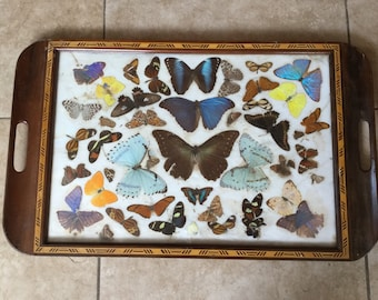 Large Antique Decorative Taxidermy Butterfly Tray