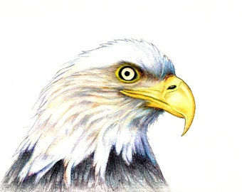"Bald Eagle Portrait art print of an original drawing available 5x7"" or 8x10"""