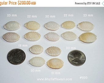 14  off white Granulate Cowrie shells #920