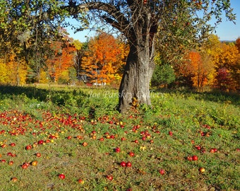 Apples on the ground, Autumn foliage, near Penwood Park, Bloomfield, CT, October color, home decor, wall art, archival print, by Joe Parskey