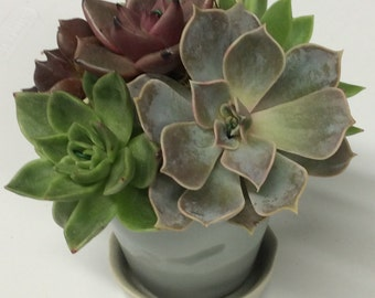 Succulent Arrangement in Ceramic Planter